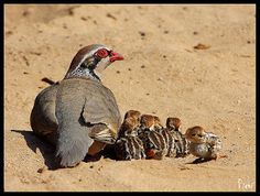 Red Legged Partridge with chicks Coyote Hunting, Pheasant Hunting, Archery Hunting, Pretty Birds, Beautiful Birds, Nature Animals, Animals And Pets, Antelope Island, Bowfishing