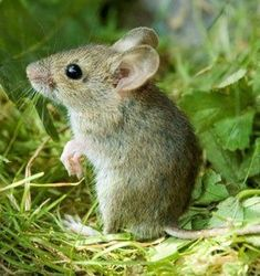 Best Picture For Rodents drawing For Your Taste You are looking for something, and it is going to te Hamsters, Rodents, Pet Mice, Pet Rats, Animals And Pets, Baby Animals, Cute Animals, Woodland Creatures, Woodland Animals