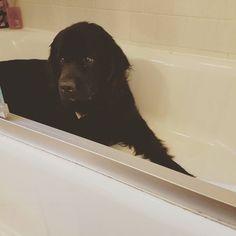 Found this in the tub... #NessieTheNewfie #newf #newfsarethebestdogsever #newfoundlandpuppy #newfoundlanddog #newfoundlanddogsofinstagram #newfie #newfiesta #newfiepuppy #newfiesofinstagram