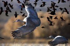 Beebower Productions www.beebower.com Each fall thousands of sandhill cranes gather for the winter at Bosque del Apache National Wildlife Refuge in New Mexico. Each morning the cranes fly out to the surrounding agricultural fields to feast. Hugh captured these cranes and red-winged blackbirds taking off just before sunrise. Thousands of birds lifted off in the frigid November air ready for another day in the fields.