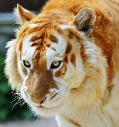 is the rare Golden Tiger This is the rare Golden Tiger - Big cats are such beautiful animals and this one tops the list.This is the rare Golden Tiger - Big cats are such beautiful animals and this one tops the list. Rare Animals, Animals And Pets, Funny Animals, Wild Animals, Unusual Animals, Exotic Animals, Majestic Animals, Animals Planet, Colorful Animals