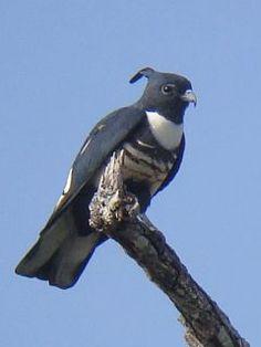 Black Baza (Aviceda leuphotes)