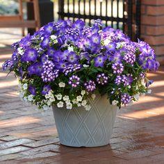 Un exemple parfait d'harmonie. Le feuillage vert sombre se marie aux notes florales vives pour former un ensemble pouvant résister à bien des conditions climatiques. Ne pas oublier d'arroser régulièrement et de pincer les fleurs fanées pour favoriser une floraison continue.