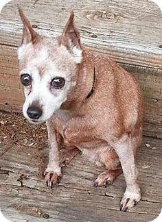 Rockaway, NJ - Miniature Pinscher. Meet XP Nikki, a dog for adoption. http://www.adoptapet.com/pet/13014766-rockaway-new-jersey-miniature-pinscher