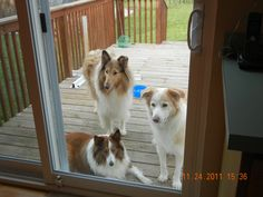 Three of the puppies wanting to get in!
