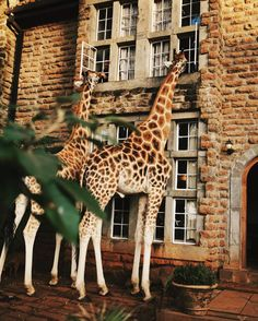 giraffe manor, in Nairobi, is definitely on the travel bucket list I courtesy of instagram: @nicoleeddy.