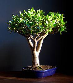 1000 id es sur le th me crassula ovata sur pinterest plantes grasses plantes jade et plantes. Black Bedroom Furniture Sets. Home Design Ideas