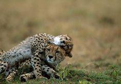 Cheetah Love by Steve Bloom