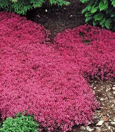 Red Creeping Thyme (Thymus Serpyllum 'Magic Carpet') hardy drought tolerant perennial, pink lemon-scented blooms all summer, inches tall. Red Creeping Thyme, Thymus Serpyllum, Ground Cover Plants, Perennial Ground Cover, Flowering Ground Cover Perennials, Full Sun Ground Cover, Ground Cover Flowers, Low Growing Ground Cover, Full Sun Perennials