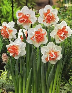 'My Story' Double Daffodil is a bright and cheery white and salmon colored double blossom that will make Your garden story truly memorable. Narcissus species are great for naturalizing and are also not favored by deer. Symbolic for new beginnings & to ensure happiness! Official flower for March & December Birthdays and 10yr wedding anniversaries!