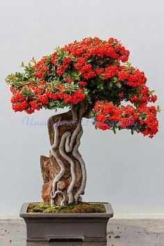 Root over rock bonsai