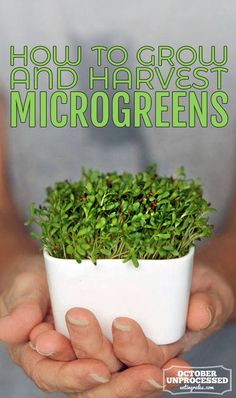 How to Grow and Harvest Microgreens! You are in the right place about microgreens growing indoor set Growing Sprouts, Growing Microgreens, Growing Vegetables, Aquaponics Fish, Hydroponics, Backyard Aquaponics, Backyard Greenhouse, Backyard Landscaping, Gardening For Beginners