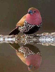 Male pink throated twinspot - Africa Geographic Birds by CreAlett Kinds Of Birds, All Birds, Little Birds, Love Birds, Pretty Birds, Beautiful Birds, Animals Beautiful, Exotic Birds, Colorful Birds