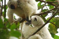Extinct Lemurs of Madagascar | Silky Sifakas: The Endangered Lemurs of Madagascar
