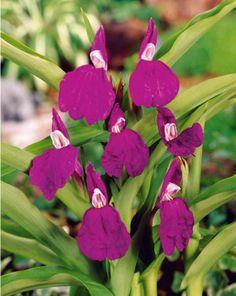 #Gingembre Orchidée violet
