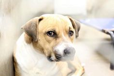 SUPER URGENT!!!! ODESSA, TEXAS>>> BUDDY Kennel A21 needs a home asap!!! $51 to approved home... PLEASE RESCUE/FOSTER/ADOPT!!!! https://www.facebook.com/speakingupforthosewhocant/photos/a.811111268913113.1073741876.248355401855372/892671174090455/?type=1&theater