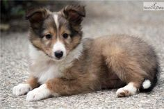 Shetland Sheepdog Sheltie Puppies - Bing Images
