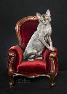 Meet the Lykoi cat, a new breed resembling a werewolf. http://lykoicat.com/