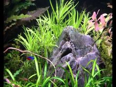 one of my favourite plants star grass Aquascaping, Grass, Insects, Youtube, Plants, Grasses, Plant, Youtubers, Youtube Movies