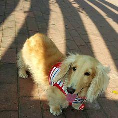 #臘腸狗#littledog #愛犬#短足部#sausagedogcentral #excellent_dogs #sausagedog #dachshund #doglife #doglover #doglovers #doglove #longdog #mydog #instadog #ミニチュアダックス #ダックス #weinerdog #justdachshunds #minidoxie #dachshundunited #doxielove #bestfriends_dogs #dachshundsunited #loves_dogs #dachshunds #dachshundlove #dachshundsonly #dachshundpuppy #great_captures_dogs