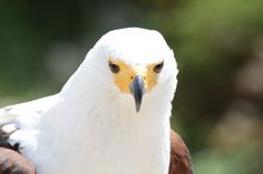 African fish eagle, haliaeetus vocifer (kiljumerikotka) in Jardin de las aquilas zoo, Spain