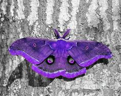 Magnificent Male Moth - Selective Color Purple