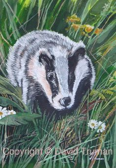 This painting depicts a young badger scrambling through the undergrowth.    It is painted in watercolour and acrylic, The original is for sale size is 15ins x 11ins,. Also available as Limited Edition Prints. Visit http://www.davidtruman.co.uk/Wildl/image.781?_i=15