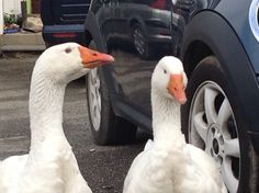 Reflective - the geese in thoughtful mood, especially after looking at themselves for hours in side of car!