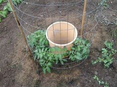 Great way to conserve water and grow great tomatoes.