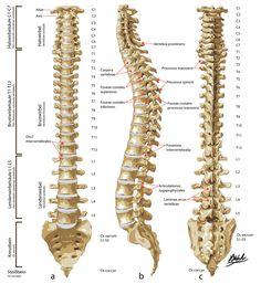 Columna vertebralis set forfra, fra siden og forfra