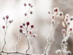 winter berries ... pictureperfectforyou:    .