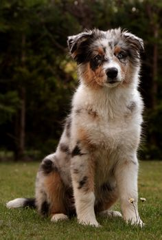 Some of the things we all admire about the Work-Oriented Australian Shepherd Puppies Aussie Shepherd, Australian Shepherd Puppies, Aussie Puppies, Cute Dogs And Puppies, I Love Dogs, Doggies, Mini Australian Shepherds, Beautiful Dogs, Animals Beautiful
