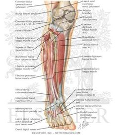 grays-sciatic-nerve-anatomy-image-II | Health/Fitness | Pinterest ...