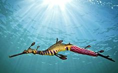 It was on a clear, windless day a year ago that Southern Cross University researcher and amateur photographer Richard Wylie (pictured above) went for a dive in the cool waters of Victoria's Mornington Peninsula and snapped a photograph of an incubating male weedy seadragon (Phyllopteryx taeniolatus).
