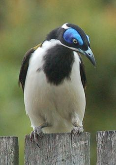 Blue Faced Honey Eater. #Birds