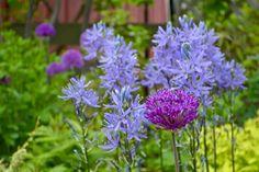 Toronto Gardens: Your June garden needs more alliums