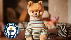 Jiff the Pomeranian Earns Two Places in the Guinness Book of World Records for Being the Fastest Dog on Two Paws