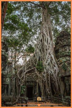 Ta Prohm, Siem Reap, Cambodia Ta Prohm, Siem Reap, Angkor Wat, How Beautiful, Cambodia, Temple, Spiritual, Photo Wall, World
