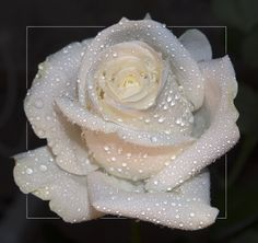 Beautiful White Roses | Indian Celebrity ZOON: Beautiful White Rose