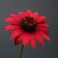 """The deep reddish-burgundy flower color was a standout and the plants were consistently full and compact,"" said one AAS Judge about Echinacea Sombrero Baja Burgundy. The beautiful flower color is without equal among coneflowers and is perfect for cut flowers. After being trialed over three tough winters, the AAS Judges noted this standout's hardiness, sturdy branching, and floriferous blooming habit. Bred by Darwin Perennials. Colorful Flowers, Beautiful Flowers, Cut Flowers, Monrovia Plants, Balcony Flowers, Greenhouse Growing, Plant Catalogs, Gardening Zones, Summer Plants"