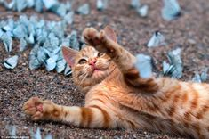 The six-month old kitten reaches for the blue-winged butterflies as he lies among them, but seems unable to catch one