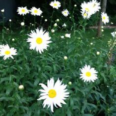 Shasta Daisies Daisy Flowers, Blooming Flowers, Shasta Daisies, Garden Hoe, Outdoor Decorations, Heaven, Roses, Gardens, Yard