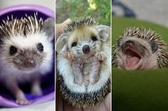 Your Daily Dosage of 'Cute' — Baby Hedgehogs!