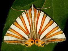 geometer moth -