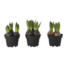 IKEA - HYACINTHUS, Plant, 3 bollen, Decoreer je huis met planten in combinatie met een sierpot die bij je stijl past.