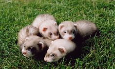 cutest animal in the whole world #ferrets #weheartit