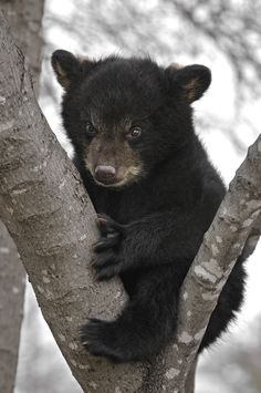 Cute little black bear in the snowy Smokies. Too cute! #wildlife