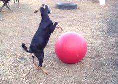 Yoga Ball Goat Toy - PetDIYs.com
