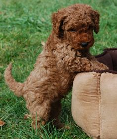 Labradoodle baby...oh my Lord!!  No shedding and smart!!