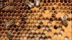 Larvae and cocoons of bees - stock footage